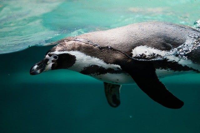 New England Aquarium Penguin
